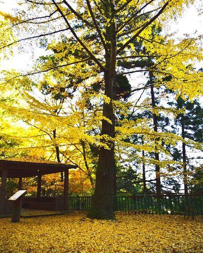 聖宝寺 いなべ市 三重県 銀杏の木 銀杏 銀杏の絨毯 黄葉 落ち葉 Tree Autumn Leaves Autumn Outdoors Low Angle View Beauty In Nature Nature No People Japan Japan Photography Nikon