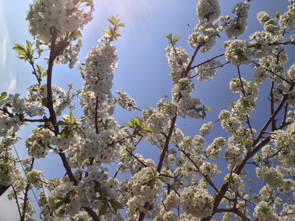 Blossom Cherry Tree Flowers Foliage In Bloom Nature Nature Tree Flower