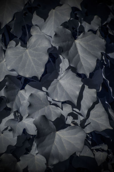 Growth Plant Backgrounds Close-up Day Infrared Photography No People Poison Ivy