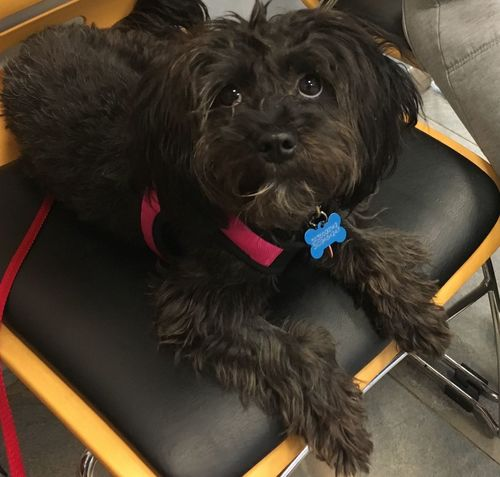 Could I be any cuter? Poodle Mix EyeEm Pets EyeEm Dogs Canine Rescue Little Dog Poodle Mix Black Dog Veterinary Puppy Dog Black Color Pets One Animal Domestic Animals No People Close-up