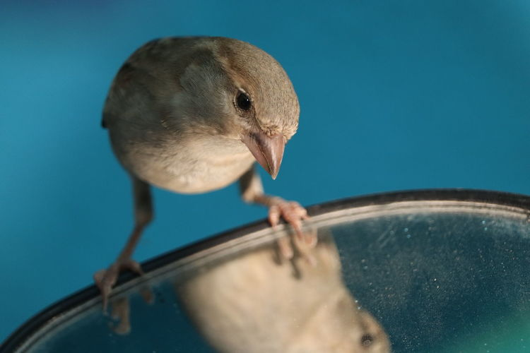 Close-up of house sparrow, observing itself on a vehicle's side mirror.