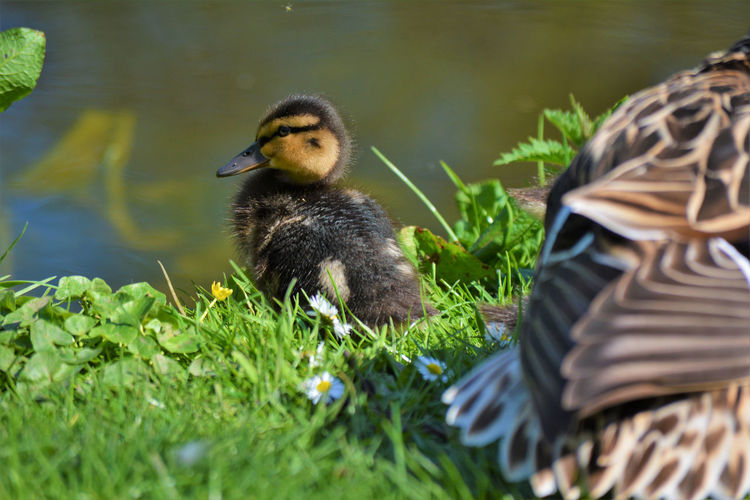 Duckling With Duck At Lakeshore