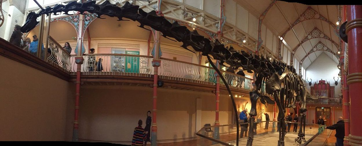 Dippy at Dorchester Museum. Diplodocus Dorchester Museum Dinosaur EyeEm Selects Indoors  Built Structure No People Architecture Arts Culture And Entertainment Day