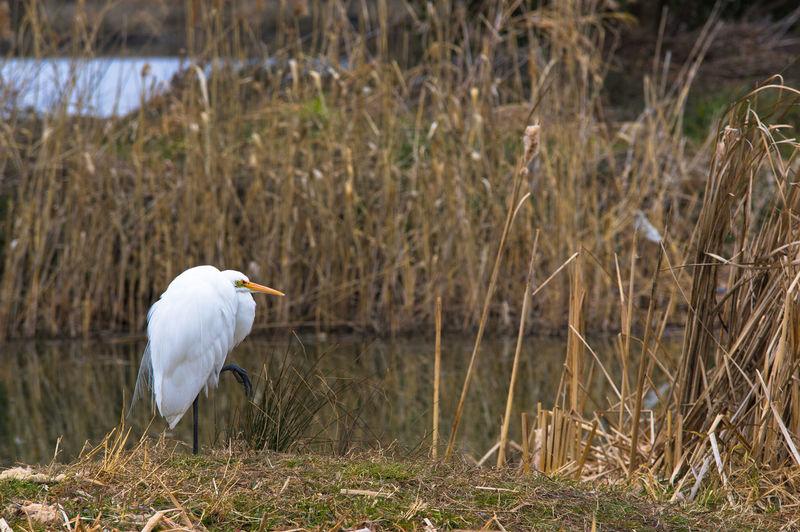 white bird, egret Animals In The Wild Beauty In Nature Bird Egret Nature One Animal Riverside White Bird