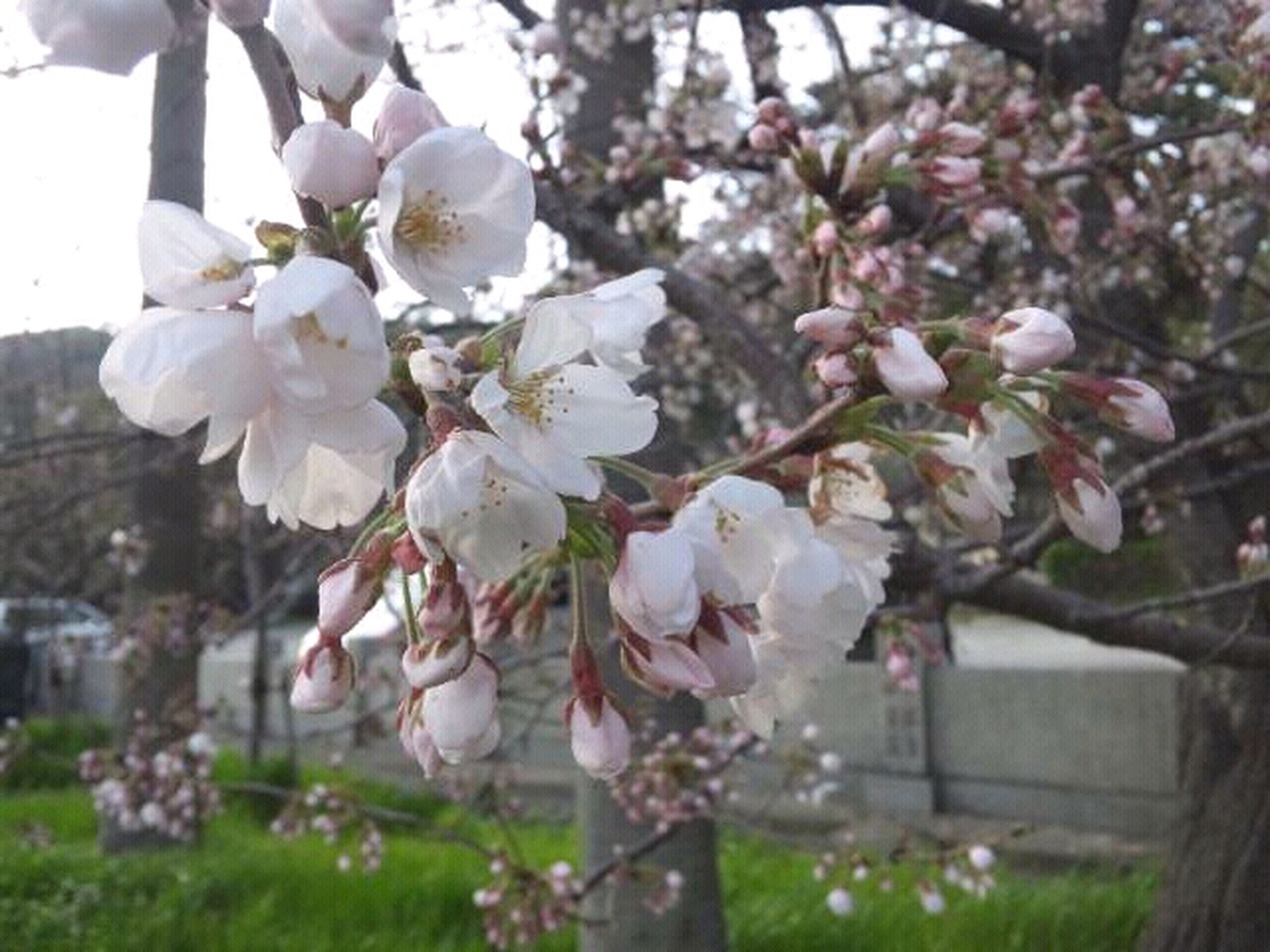 flower, freshness, fragility, growth, cherry blossom, branch, petal, beauty in nature, tree, blossom, cherry tree, nature, focus on foreground, in bloom, blooming, white color, close-up, springtime, fruit tree, apple tree