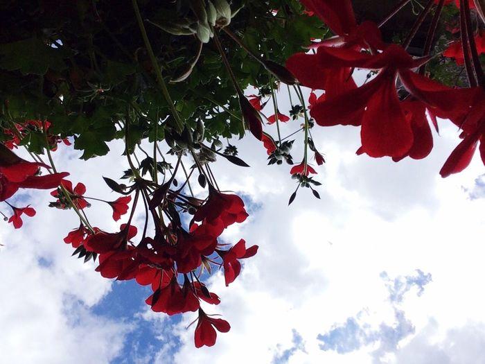 The Great Outdoors With Adobe Flowers,Plants & Garden EyeEm Nature Lover Blumenpracht🌺🍃 EyeEm Gallery Blütenzauber Garten Pflanze Natur EyeEmBestPics Garden Photography Draußenzuhause Hängegeranie Blick Von Unten Under The Flower