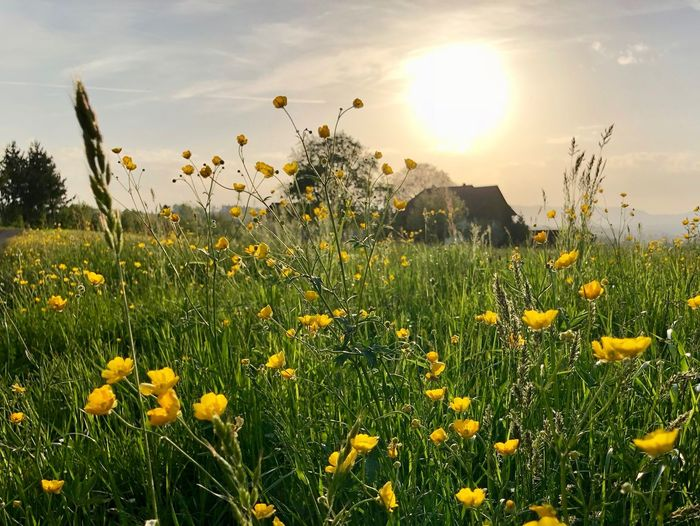 Springtime HDR Beauty In Nature Bright Flower Flower Head Flowering Plant Nature No People Plant Sky Springtime Sun Sunlight