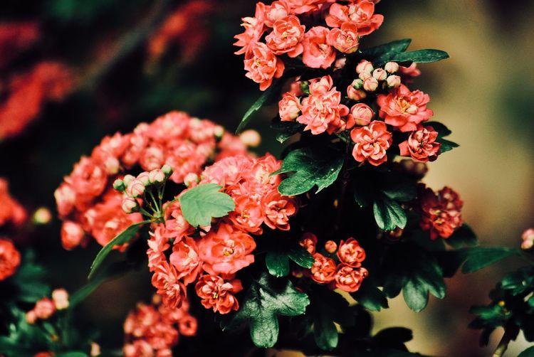 Close-up of flowering maybush
