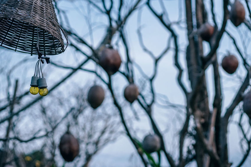 Two yellow night lights are hanging from the tree in an upside down wooden cage for protection of light bulbs. The blurry background has the dried coconuts hanging from the trees. Beautiful Celebration Coconut Green Hanging Out Holiday Lantern Light Nature String Tree Backgrounds Bulb Color Decoration Decorative Dry Festive Forest Garden Lamp Outdoors Summer Vintage Yellow