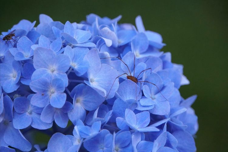 A spider on the top of blue hydrangea Spider Insect Gardening Perennial Blue Summer Flower Head Flower Blue Petal Close-up Plant Hydrangea Passion Flower In Bloom Blooming Blossom