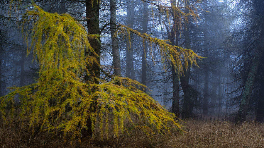Mystic Tree Autumn Beauty In Nature Color Day Fall Fog Forest Grass Growth Landscape Leaves Mood Nature No People Outdoors Pine Tree Plant Scenics Tranquil Scene Tranquility Tree Tree Area Tree Trunk Wilderness Area WoodLand Yellow