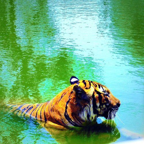 Tiger تصويري  Kuwait_lion