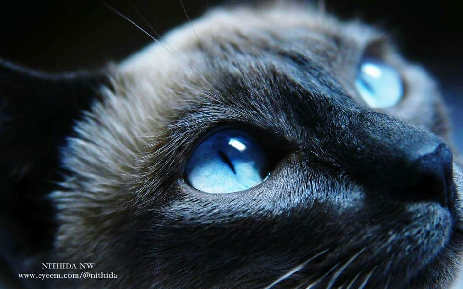 Blue Cat's Eye. 🐱 Hanging Out Taking Photos Check This Out That's Me Hello World Cheese! Relaxing Hi! Enjoying Life Ctue Bautiful Colors My Best Photo 2015