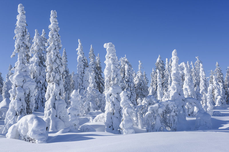 Snow covered trees against clear blue sky