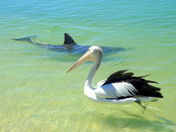 Animal Themes Animal Wildlife Animals In The Wild Australia Backpacking Bird Blue Day Dolphin Hippie Monkey Mia Nature Ocean Pelican Sea Shark Shark Bay Travel Traveling Water Western Script Wildlife