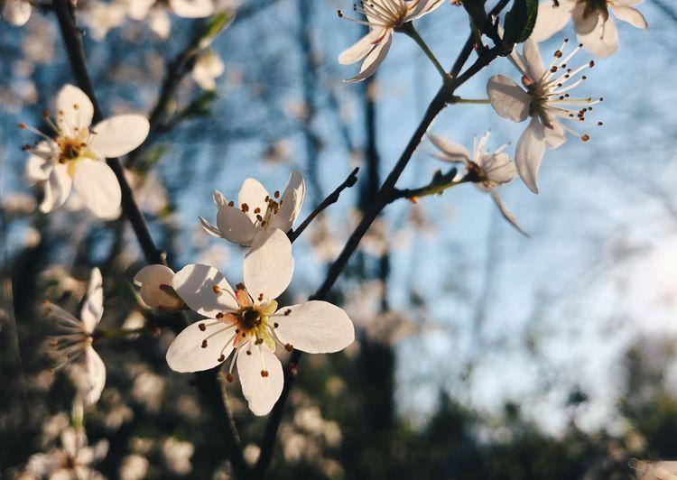 •spring• Cherry