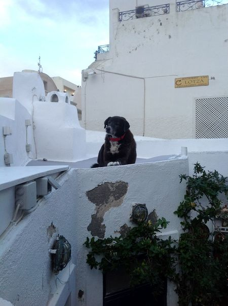 The king of the castle Black And White Dog King Of The Castle Looking At Camera Mammal Outdoors Santorini, Greece Sitting Sky Standing Guard There Be Dragons