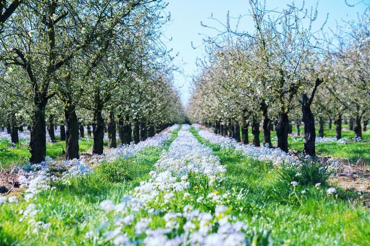 flowers between a row of apple trees Apple Tree Beauty In Nature Flowers Freshness Grass Green Growth Nature No People Outdoors Plant Row Scenics Sky Spring Tranquility Tree Trees The Great Outdoors - 2017 EyeEm Awards