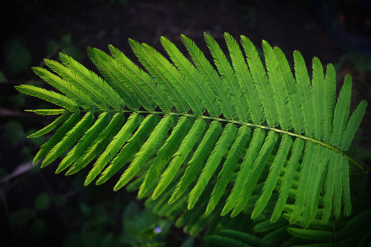 Climbing wattle, Acacia, Cha-om Acacia Pennata Cha-om Climbing Wattle Beauty In Nature Close-up Focus On Foreground Freshness Green Color Growth Leaf Leaves Natural Pattern Nature Plant Plant Part Selective Focus Tree