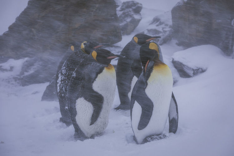 Penguins on snow covered land
