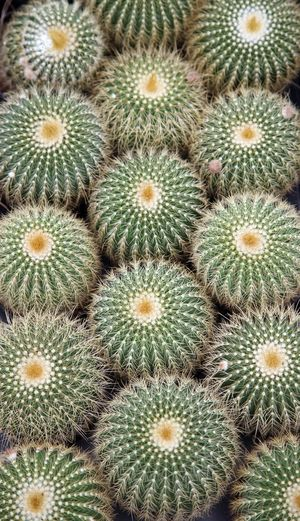 Cactus Arid Climate Beauty In Nature Botanic Botanical Botany Cacti Desert Exotic Flora Floral Garden Green Growth Nature Needle Plant Prickly Spike Spine Succulent Thorn Tropical Wild