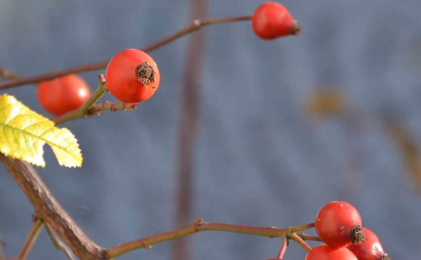 Close-up of rose hips growing on branches