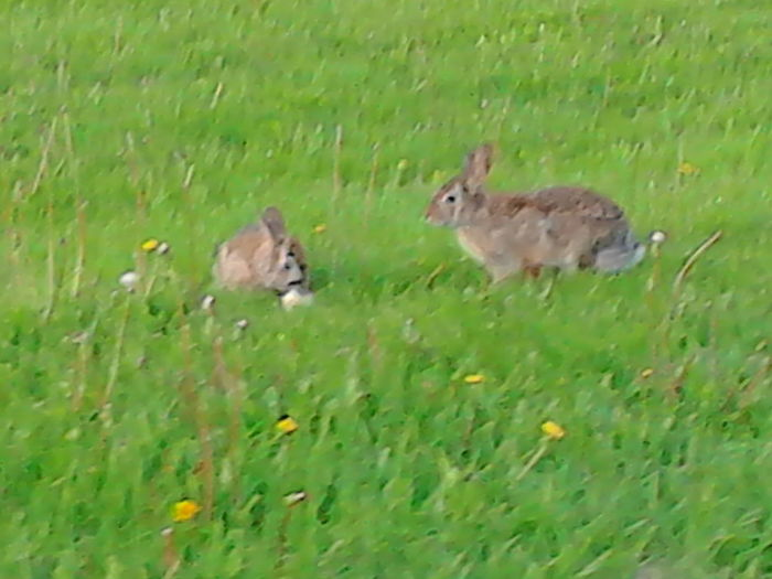 Animal Animal Themes Animals In The Wild Grass Hare Lievre Selective Focus Two Animals Wildlife