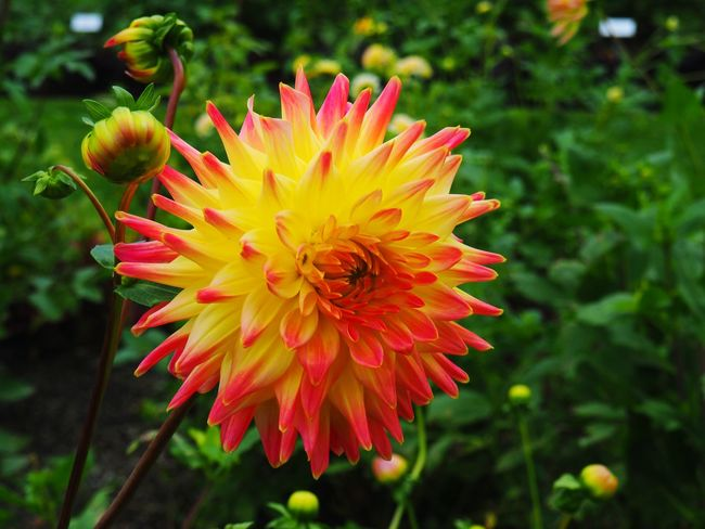 JezzyRabbitPhotography Flower Plant Nature Flower Head Petal Focus On Foreground Growth Close-up Freshness Pink Color Outdoors Beauty In Nature Day Fragility Multi Colored No People Red Yellow