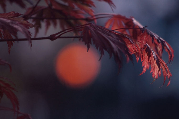 Close-up of leaves against sunset