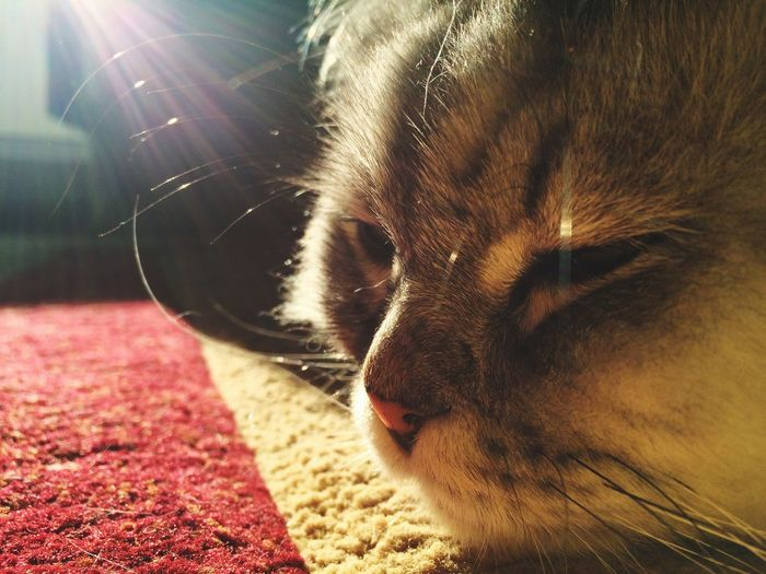 Messy Carpet Sunlight Sunbathing Cat Animal Themes One Animal Pets Domestic Animals Mammal Close-up Domestic Cat No People Whisker Sunlight Nature Indoors  Day The Still Life Photographer - 2018 EyeEm Awards