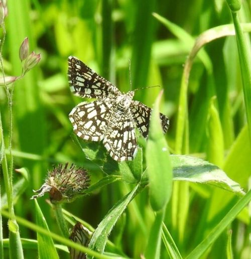 Moths Moth Lattice Heath Moth Daytime Moths Wildlife Photography No People Nature Photography