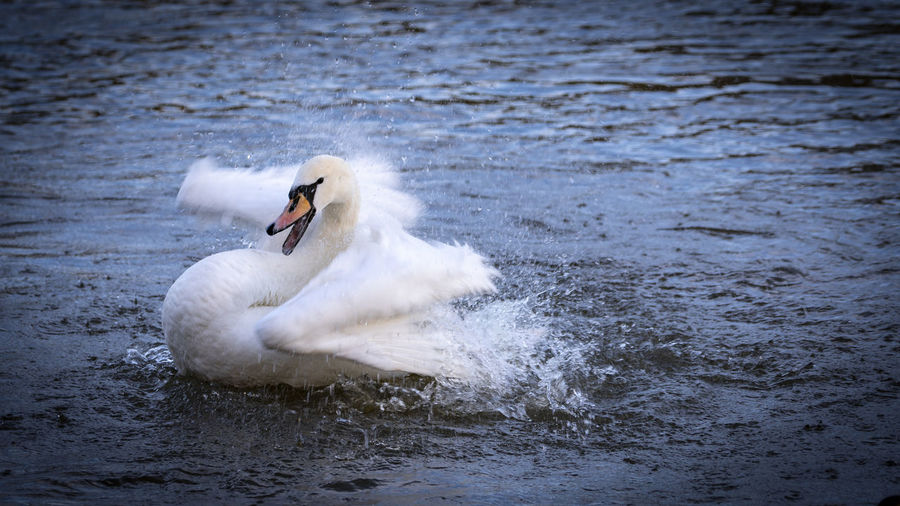 Swan swimming in a water