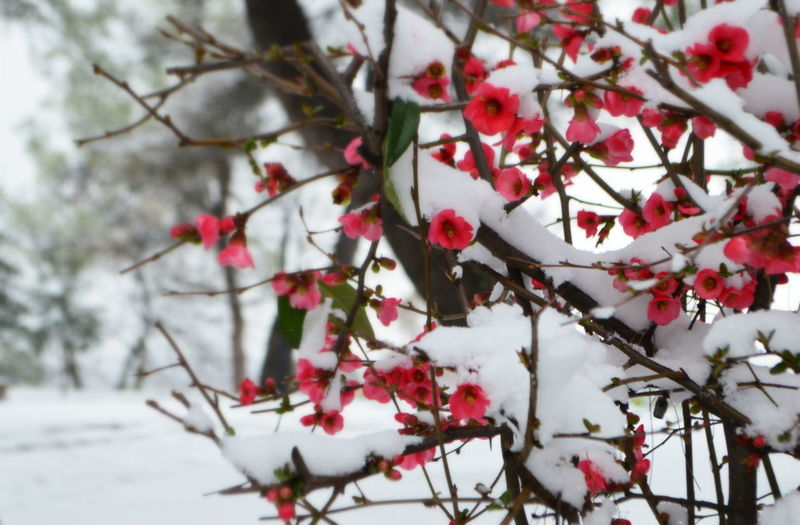Close-up of red flowers on tree during winter