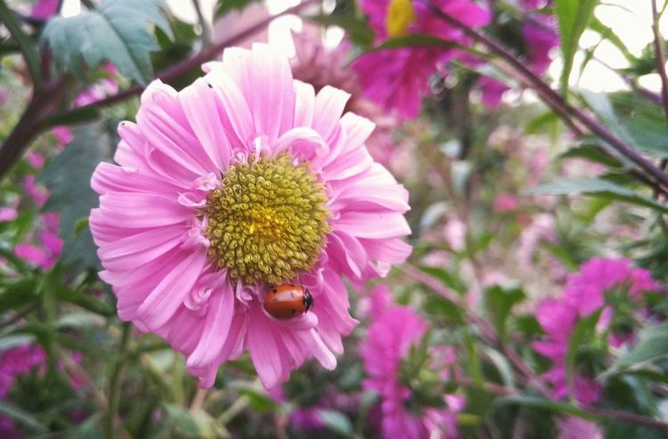 || Nature Theories || Delhi, India. Ladybug TheFoneFanatic Macro Nature PhonePhotography Mobilephotography Bokeh Lenovovibeshot Delhi Nature Flower Head Flower Pink Color Petal Insect Close-up Plant Pollen Autumn Mood