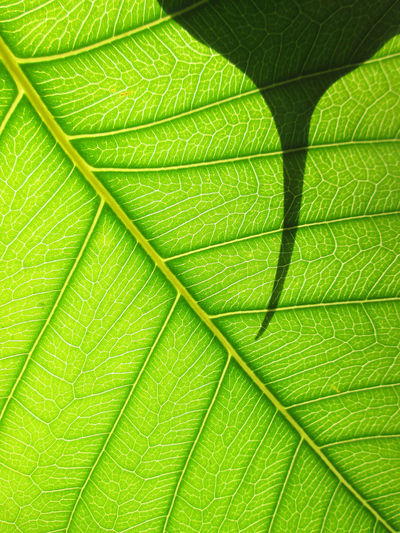 Green Color Sunlight Backgrounds Beauty In Nature Bodhi  Bodhi Leaf Botany Close-up Closeup Foliage Freshness Green Color Green Leaf Green Leaves Growth Leaf Leaf Vein Leaves Light And Shadow Macro Natural Pattern Nature Pattern Plant Textured