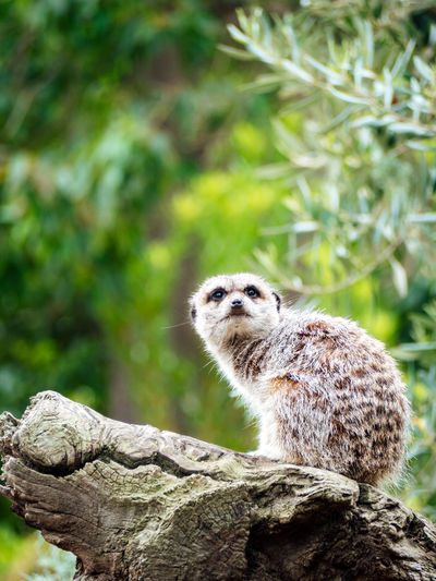 Meerkat sentry on duty 4 Meerkat Zoo Alert Alertness Animal Animalportrait Animals Bokeh Bokeh Background Close-up Mammal Nature One Animal Outdoors Portrait Wildlife Wildlifephotography Zoo Animals