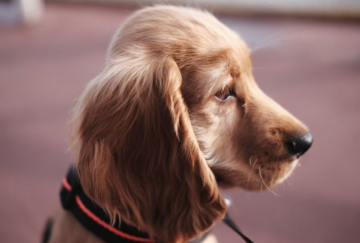 Profile, melancholic mood Fujifilm FUJIFILM X-T1 Nice France Dogs Coker Cokerspaniel Puppy Puppy Love EyeEm Selects Retriever Pets Beagle Dog Golden Retriever Purebred Dog Close-up Pet Collar Pet Leash Pet Equipment