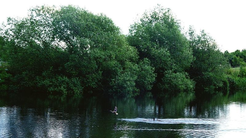 Ducks River Water Forest Trees Ripple Effect Scrnery Beauty In Nature Outdoors Animal Wildlife Green Color Reflections In The Water Flying Summer
