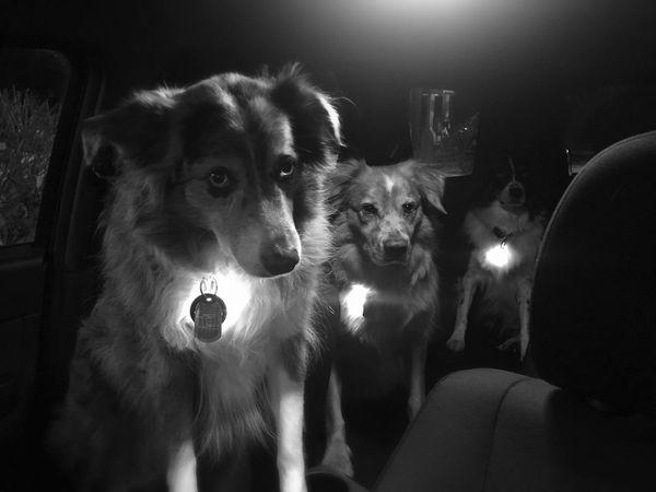 The line up Animal Body Part Animal Themes Australian Shepherds Close-up Convicts Dog Dogs Domestic Animals Mammal Night Pets