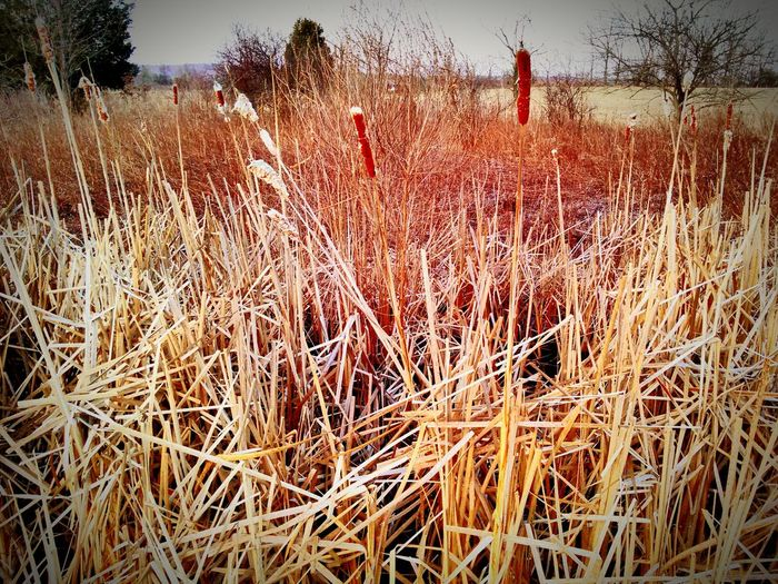Marsh Plants Cattails Field Landscape Plant Life Pennsylvania Landscape Plants And Flowers Plants 🌱