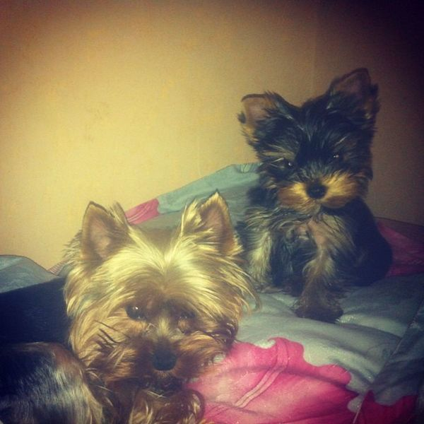 two angels are ready to sleep Yorki Yorkshire Terrier Puppy blackgirlandboyйоркйоркширскийтерьерроссияrussiagoodnight