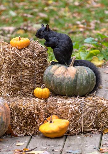 View of pumpkins on field