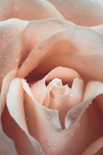 Close-up Freshness Full Frame No People Food And Drink Backgrounds Rosé Food Plant Wet Indoors  Fragility Vulnerability  Nature Day Rose - Flower Beauty In Nature Extreme Close-up Still Life Selective Focus Flower Dew