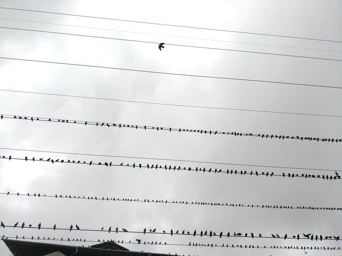 Animal Animal Themes Animal Wildlife Animals In The Wild Architecture Bird Built Structure Cable Cloud - Sky Day Electricity  Group Of Animals In A Row Low Angle View Nature No People Outdoors Power Line  Power Supply Silver Colored Sky Vertebrate
