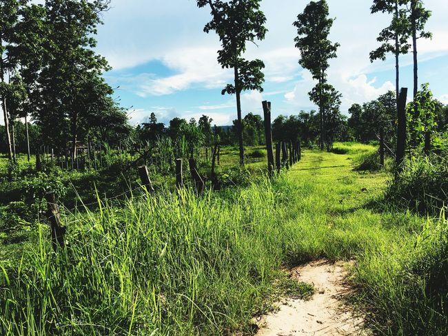My Farm in Nakhonphanom, Thailand Hills Nature Destination Green Farm Green Evergreen Path Road Countryside Rice Field