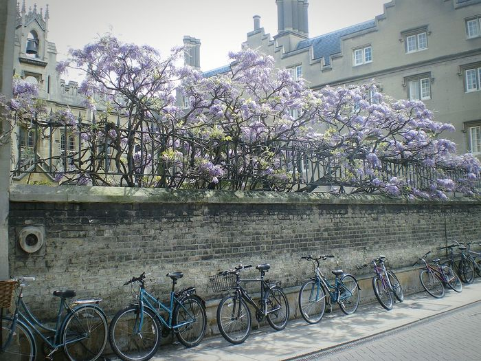 Wisteria In Full Bloom Flowers Wisteria Blooms Wisteria Architecturelovers English Architecture University City Bicycles Stone Wall English Heritage Architecture Cambridge Uk