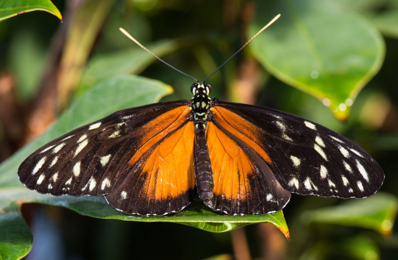 Mar 2019 - Butterfly Pavilion, Westminster, Colorado USA Insect Butterfly - Insect Animal Wing Close-up Butterfly Leaf Animal Markings Macro Photography Animal Wildlife One Animal Beauty In Nature Focus On Foreground Nature No People Plant Plant Part Day Outdoors Animal Themes