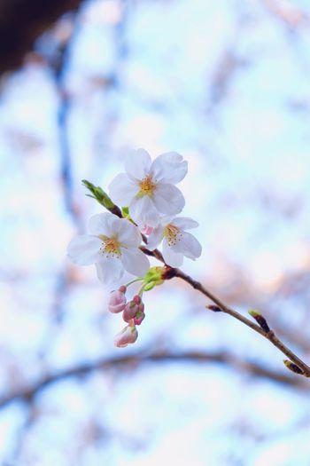 SAKURA Sakura Flower Fragility Blossom Springtime Beauty In Nature Petal Nature Tree Freshness Flower Head Botany Close-up Growth