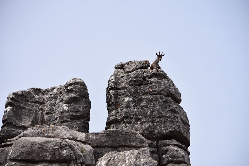 Low Angle View Of Goat Perching On Rock Against Clear Sky