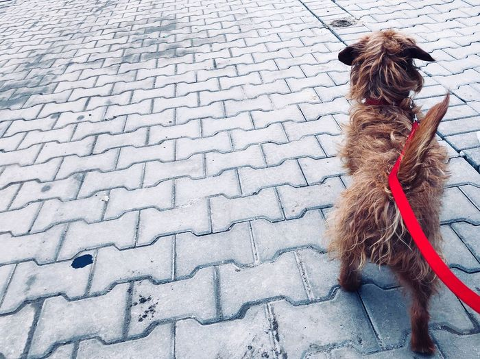 Chained Red Canine Rear View Day Dog Childhood Footpath High Angle View One Animal Mammal Pet Leash People Domestic Animals Domestic Small Full Length Outdoors Paving Stone Leash Pets Nature
